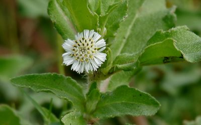 Protect Your Liver With This Little Herb