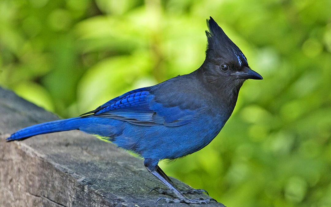 Learning Non-violence from the Rudeness of Blue Jays
